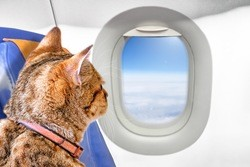 Emotional support animal looking out airplane