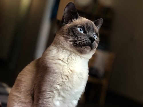Emotional Support Cat - Siamese