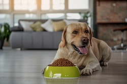 Emotional Support Dog Laying Down with Bowl of Food