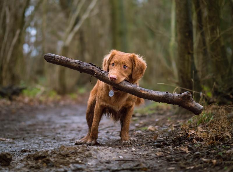 Emotional Support Dog lost carrying a big stick