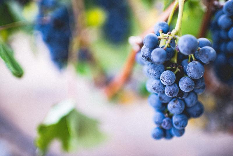 Grapes can be toxic for some emotional support animals