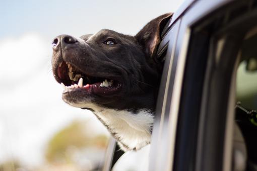 Large Service dog riding in car