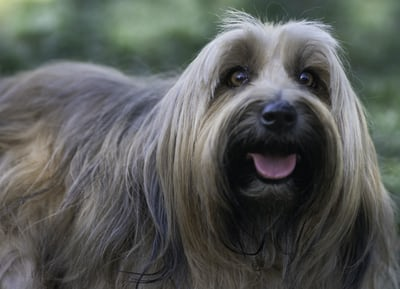 Manage shedding for a wire-haired service dog