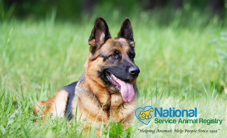 Service dog in grass