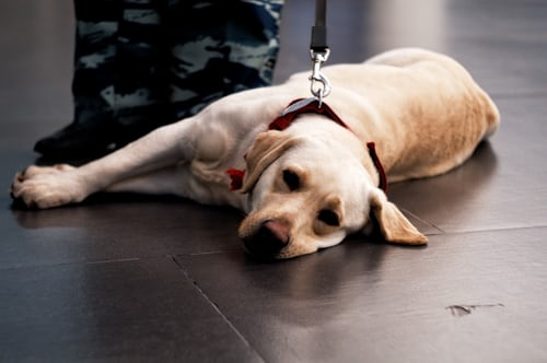 Service Dog Laying on the Floor