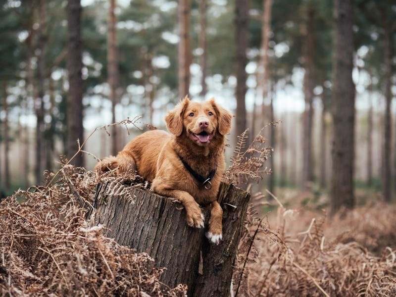 Service dog on tree stump