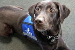 Service dog with blue vest