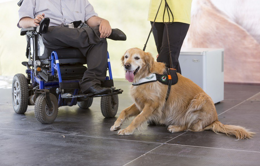 Service Dog with Disabled Person