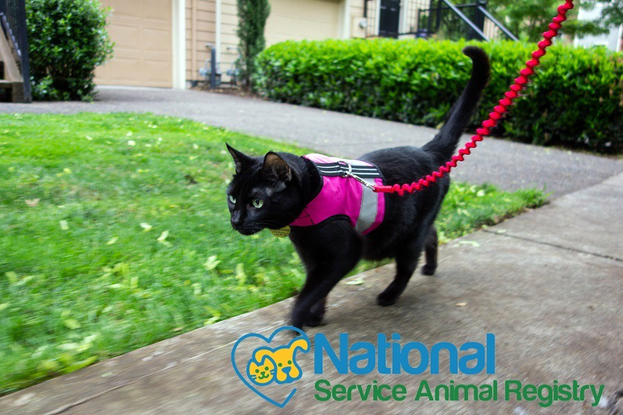 Walking cat with harness