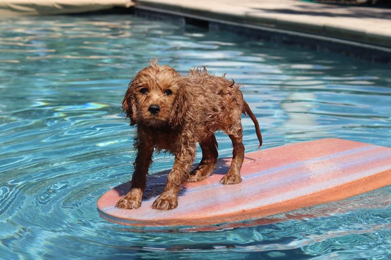 Wet dog on a boogie board in a pool