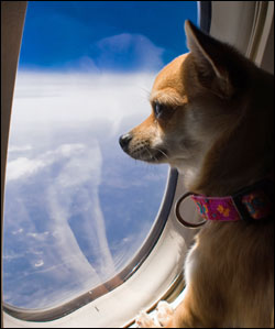 Service dog in airplane