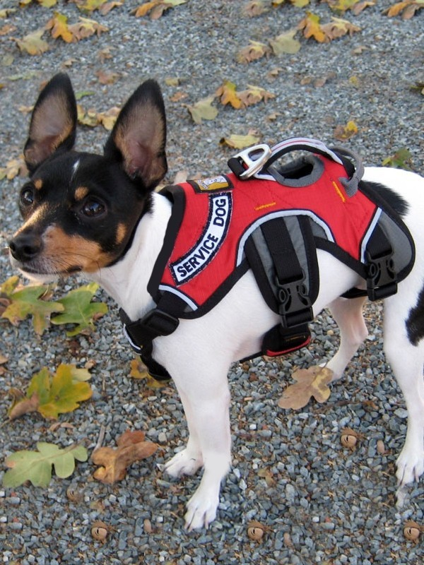 service dog harness red red ruffwear webmaster service dog and esa harness